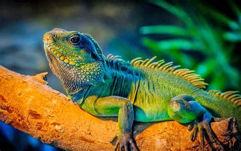imagenes de iguanas rojas las 10 mascotas ex 243 ticas que m 225 s se comercializan en colombia