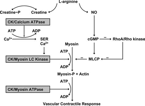 creatine blood pressure resistance artery creatine kinase mrna and blood pressure
