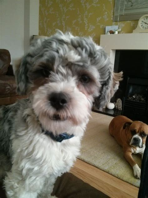 shih tzu x poodle puppies for sale shih tzu x poodle puppies for sale worcester worcestershire pets4homes