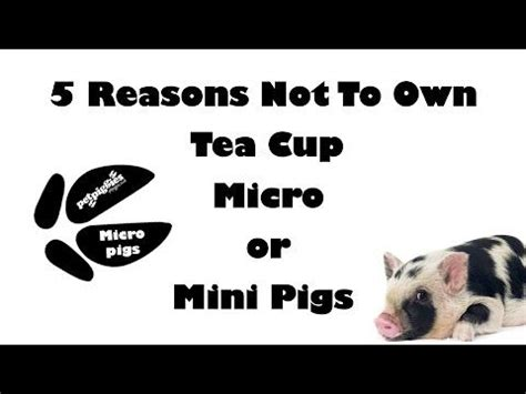 8 Reasons Not To Be Influenced By Media Images by 5 Reasons Not To Own A Tea Cup Micro Or Mini Pig