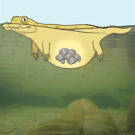 crocodiles swallow stones science vibe