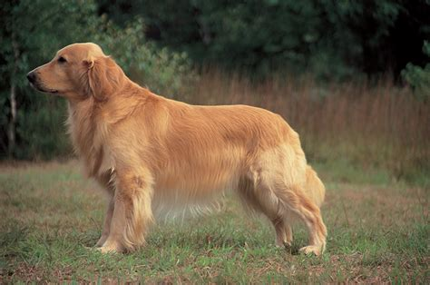 difference between labradors and golden retrievers difference between golden retriever and yellow lab
