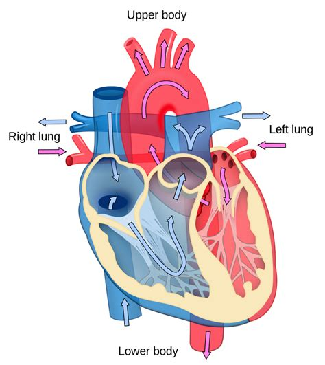 Unlabeled Heart Diagram diagram of a labeled and unlabeled 2018 printable