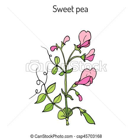 sweet pea lathyrus odoratus hand drawn botanical vector