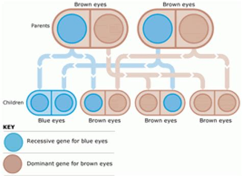 eye color genetics eye color genetics chart familyeducation