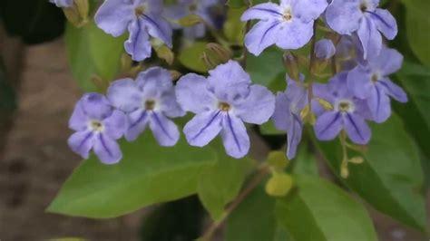fazer plantas como fazer mudas pingo de ouro duranta repens jardinagem plantas ornamentais