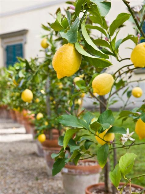 fruit tree growing growing fruit trees in containers hgtv
