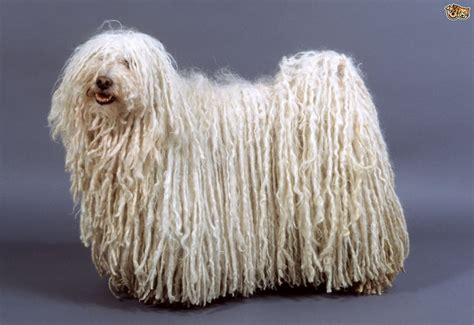 hungarian breeds hungarian puli breed information facts photos care pets4homes