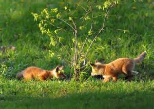looking to get rid of foxes effective wildlife solutions