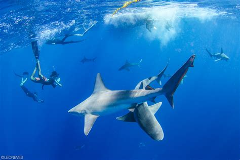 dive shark shark cage diving in hawaii make it part of your vacation