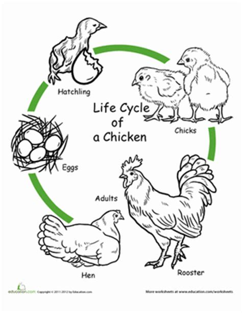 free printable animal life cycle worksheets chicken life cycle worksheet worksheet education com