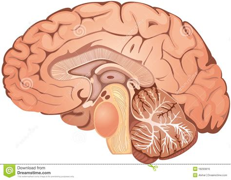 Cross Section Of A Brain by Brain Royalty Free Stock Image Image 18293816