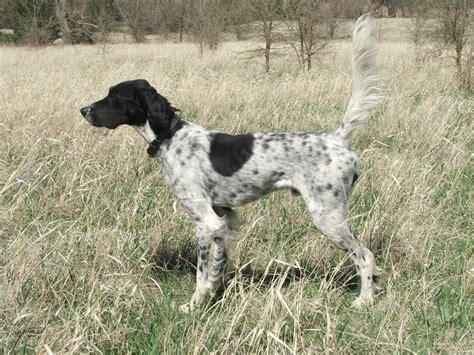 Setter Dogs Kansas | setter dogs