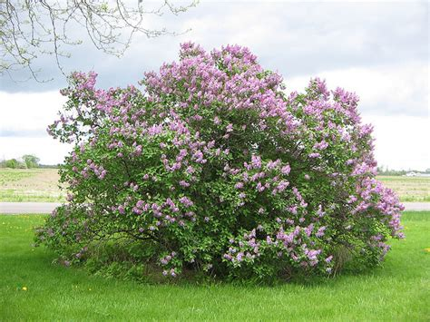 lilacs bush new york state bush lilac