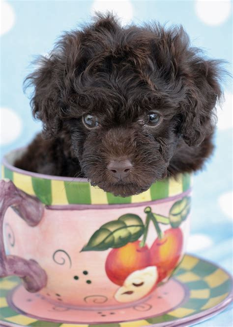 puppies south florida poodle puppies south florida teacups puppies boutique