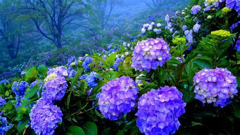 hortensias flores imagenes c 243 mo pintar hortensias como pintar com