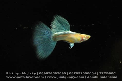 Guppy Blue Lace Grade B 1 Pair Import guppy blue sky hb blue sale guppy fish indonesia