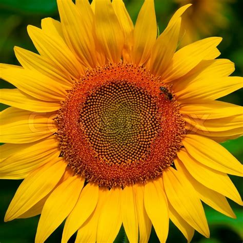 Sunflower Top by Beautiful Sunflower Top View With Bee Stock Photo