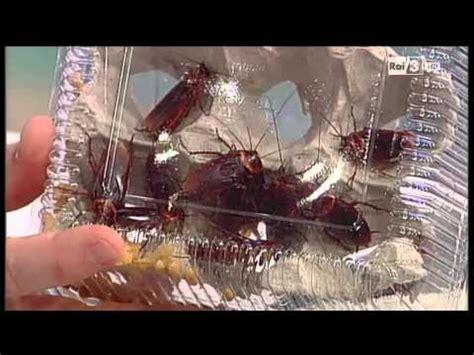 blatte in casa come eliminarle disinfestazione blatte scarafaggi doovi