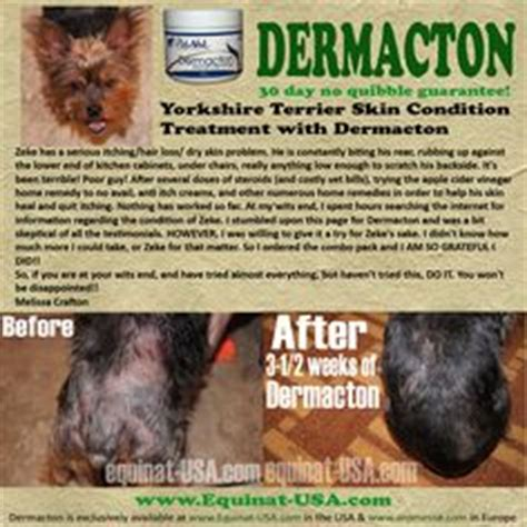 yorkie itchy skin remedies 1000 images about treatment canine dermatitis on hair loss itchy