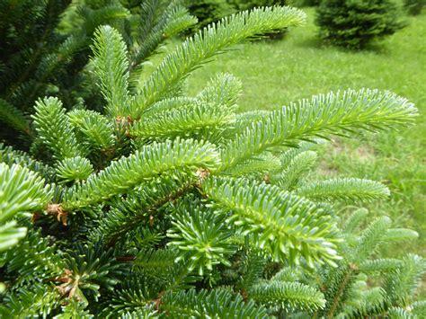 balsam tree tree varieties kenburn orchards