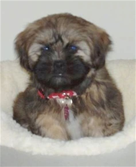 shih tzu lhasa apso mix black shih apso breed information and pictures