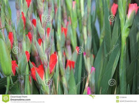 fiore gladiolo fiore di gladiolo immagine stock immagine di giglio