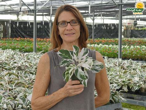 Tanaman Calathea White Fushion Berkualitas plants morning dew tropical plants