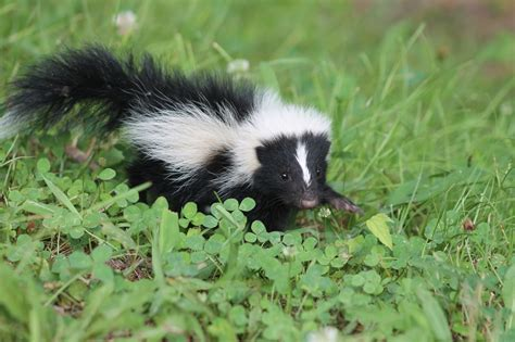 How Do You Get Rid Of Skunks A Shed by Skunk Removal Trapping Get Rid Of Skunks