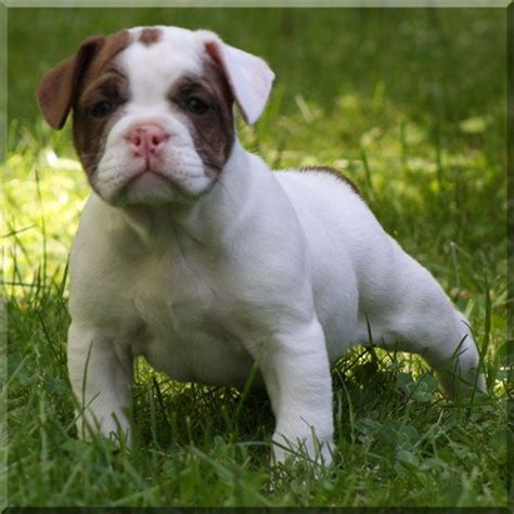 shorty bull puppies 8 best images about shorty bulls on the o jays bullets and puppys