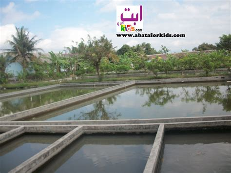 Harga Terpal Kolam Yogyakarta jual larva nener nila merah hitam bibit nila