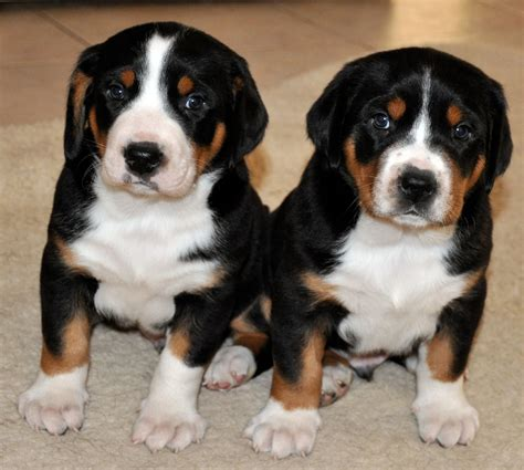swiss mountain puppies prism greater swiss mountain dogs puppies