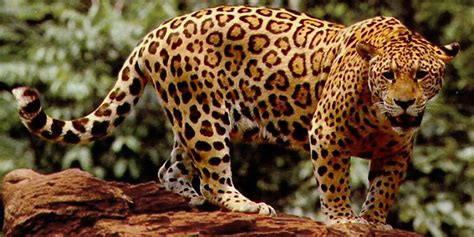 jaguar pattern house cat 301 moved permanently