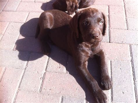 labrador doodle puppies for sale labradoodle x labrador puppies doncaster south