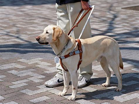how do they seeing eye dogs understanding the difference between pets comfort service and therapeutic animals