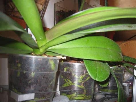 vasi trasparenti per orchidee vasi per orchidee orchidee