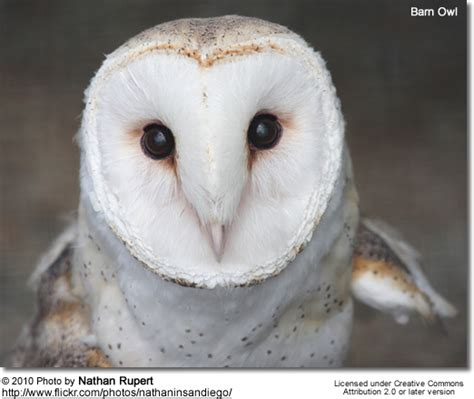 Barn Owl Conservation Status barn owls tytonidae of birds