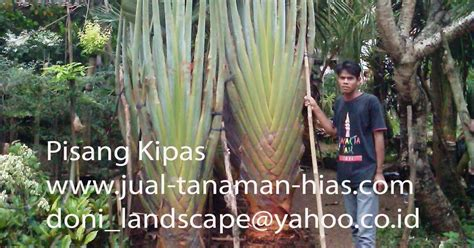 Pohon Pisang Kipas jual pisang kipas tanaman hias pisang kipas pohon