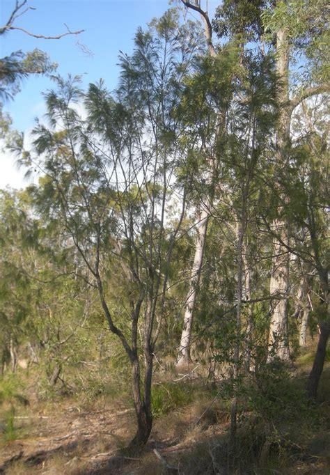 allocasuarina forest sheoak   plants garden