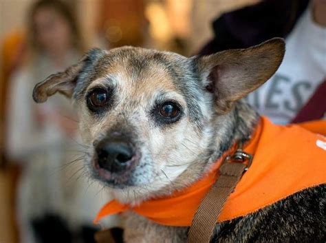 puppy finder nc view ad chihuahua for adoption carolina durham usa