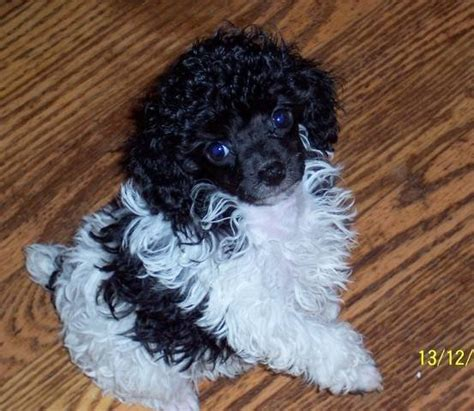 free puppies in kentucky akc teacup to small miniature poodle puppies for sale adoption from louisville