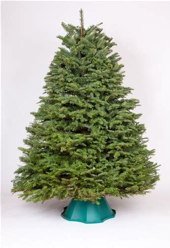 7 8 ft fresh nobel fir 7 5 8 ft noble fir trees green valley trees