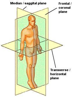 Define Transverse Section by 17 Best Ideas About Sagittal Plane On Human