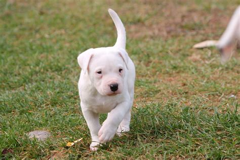 dogo puppy dogo argentino puppies