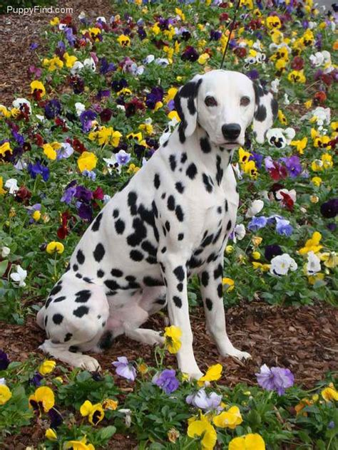 how many dalmatian puppies are in pongo and perdita s litter i dalmatians dalmatian for sale dalmatian i puppies march 27 2013 sire is