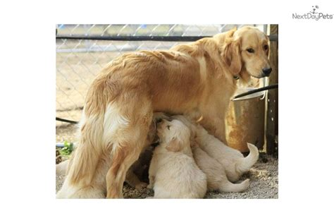 seasons gold golden retrievers puppies for sale from seasons gold member since january 2006