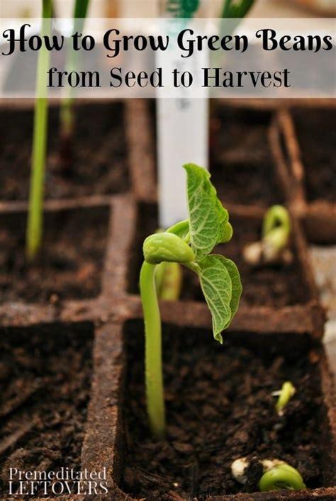 grow green beans   garden  seed