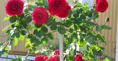 pictures world 1600 215 1200 beautiful red rose wallpaper