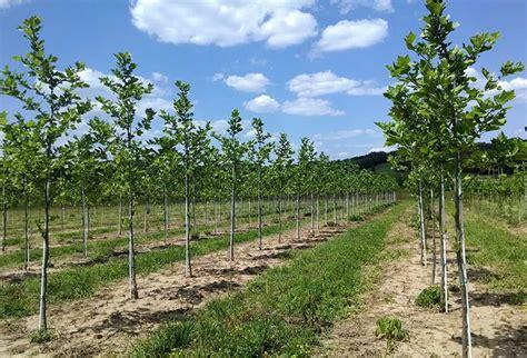 choose and cut trees in illinois tree farm near me trendy ideas trees near me u cut lights decoration 100 the