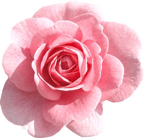 rose clipart png pencil and in color rose clipart